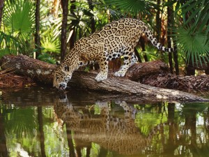 Un jaguar bebiendo agua