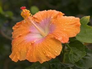 Gotas de agua en una flor de hibisco