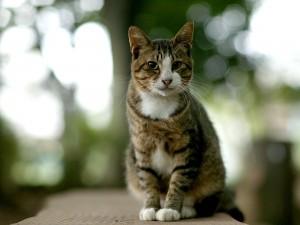 Bonito gato con las patas blancas