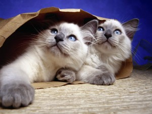 Dos gatos dentro de una bolsa de papel