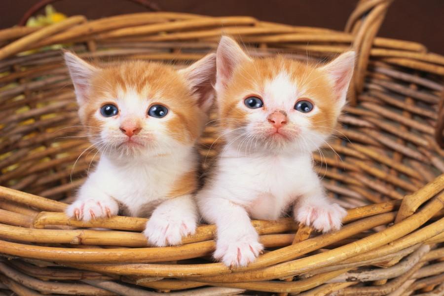 Dos lindos gatitos dentro de una cesta