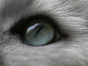 El ojo azul de un gato