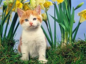 Pequeño gato junto a unos narcisos amarillos