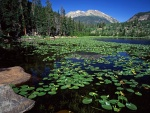 Hojas de nenúfar en la superficie del lago
