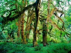Selva Hoh (Parque Nacional de Olympia, Washington)
