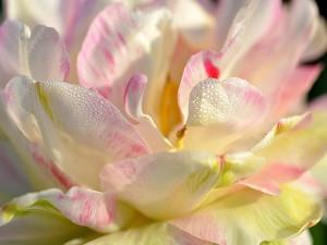 Agua en los pétalos de una magnolia