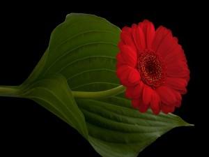 Gerbera roja junto a una hoja verde