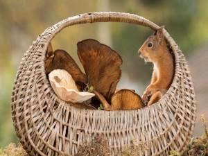 Ardilla en una cesta con hongos