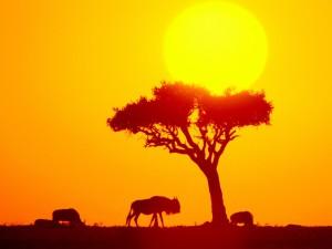 Ñus en África
