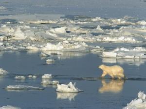 Oso polar caminando por el agua