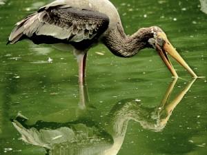 Garza pescando su alimento