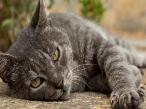 Gato gris acostado con la pata extendida