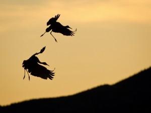 Grullas volando en el cielo