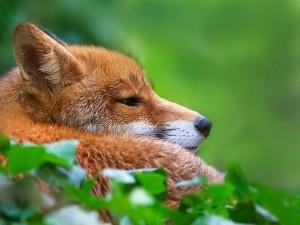 Zorro tumbado en la hierba