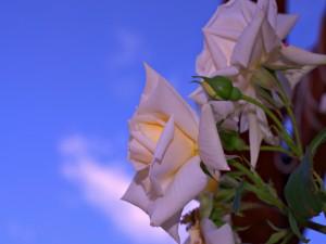 Rosas blancas bajo el cielo azul
