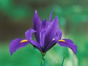 Un hermoso iris en el jardín