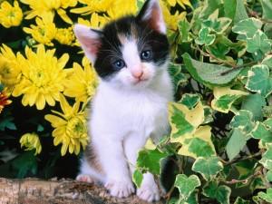 Gatito blanco con manchas negras