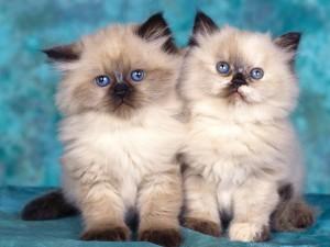 Dos gatitos himalayos
