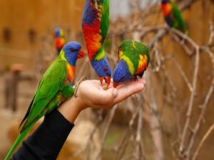 Loros comiendo de la mano de una persona