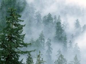 Niebla entre los pinos del bosque