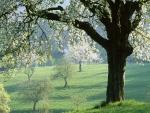 Árboles en flor en el campo