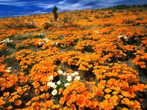 Hermoso campo de flores naranjas