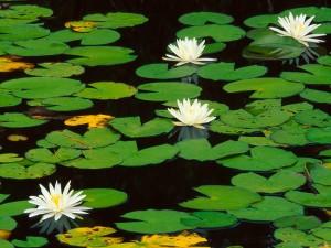 Flores de nenúfar en el agua