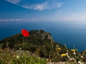 Amapola roja en una colina