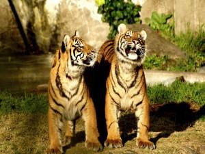 Pareja de tigres siberianos