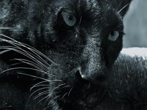 Peligrosa pantera negra