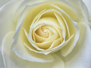 Una hermosa rosa blanca