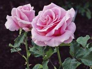 Rocío sobre dos rosas