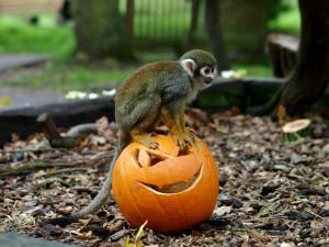 Mono sentado en una calabaza tallada para Halloween