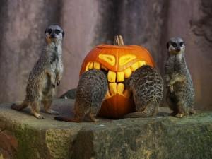 Suricatas junto a una calabaza de Halloween