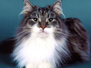 Gato con el pecho blanco
