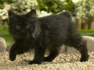 Un gatito negro caminando