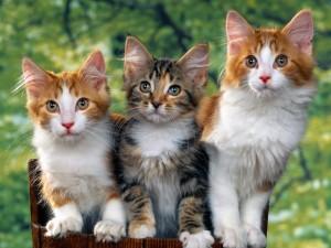 Tres bonitos gatos