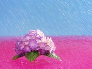 Hortensia bajo la lluvia
