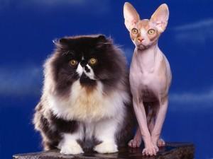 Gato con mucho pelo junto a un gato sin pelo