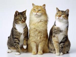 Tres hermosos gatos de ojos verdes
