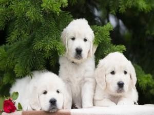 Tres labrador retriever sentados cerca de las ramas de un abeto