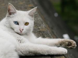 Gato blanco con un ojo azul y otro naranja