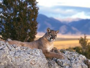 Puma descansando sobre la roca