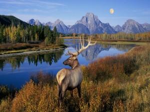 Hermoso ciervo a orilla del río