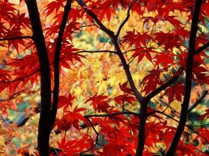 Arces japoneses en otoño
