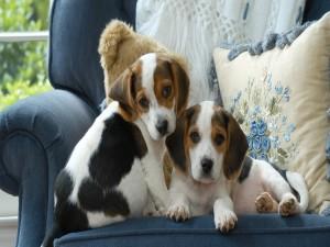 Cachorros sentados en el sillón