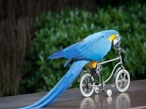 Guacamayo azul en una bicicleta
