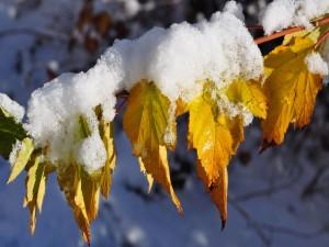 Hojas cubiertas de nieve en otoño