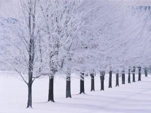 Árboles alineados sobre la nieve