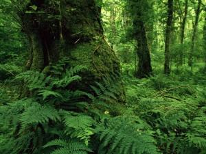 Helechos y árboles en el bosque
